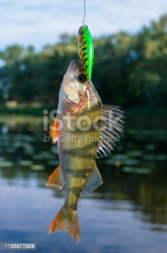 951984746istockphoto caught perch in the river at the bait 1155672908