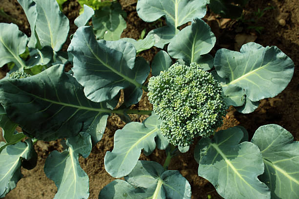 Cauliflower broccoli plant growing in a vegetable garden. Cauliflower broccoli plant growing in a vegetable garden. broccoli stock pictures, royalty-free photos & images