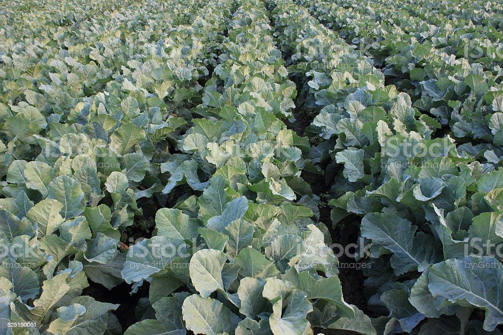Cauliflower field stock photo