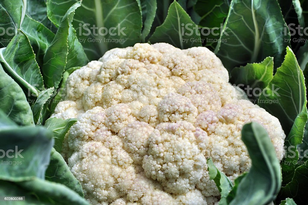 cauliflower in the vegetable garden stock photo