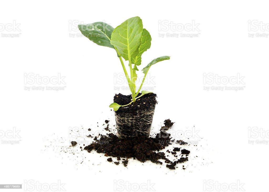 Cauliflower seedling stock photo