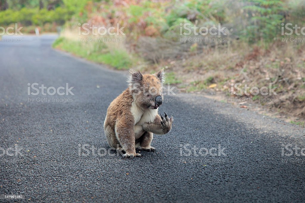 Caution: Koala on the road! stock photo