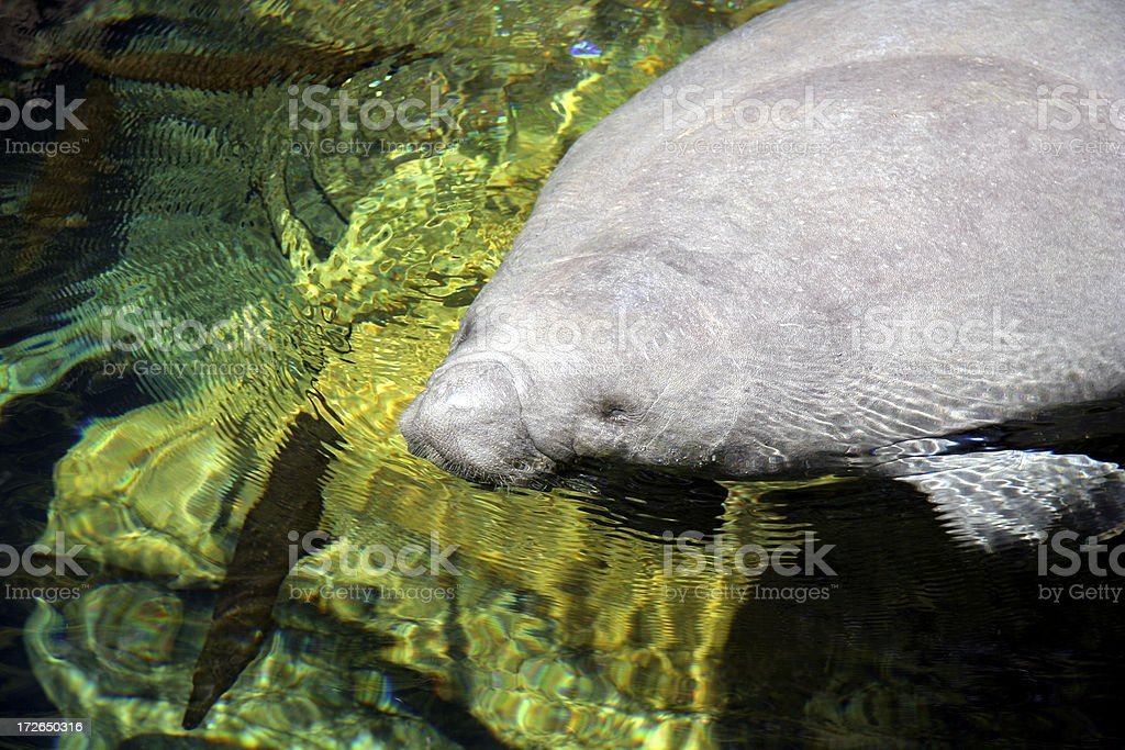 CAUTION:Manatee crossing royalty-free stock photo