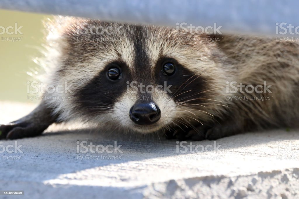 Cautious Raccoon stock photo