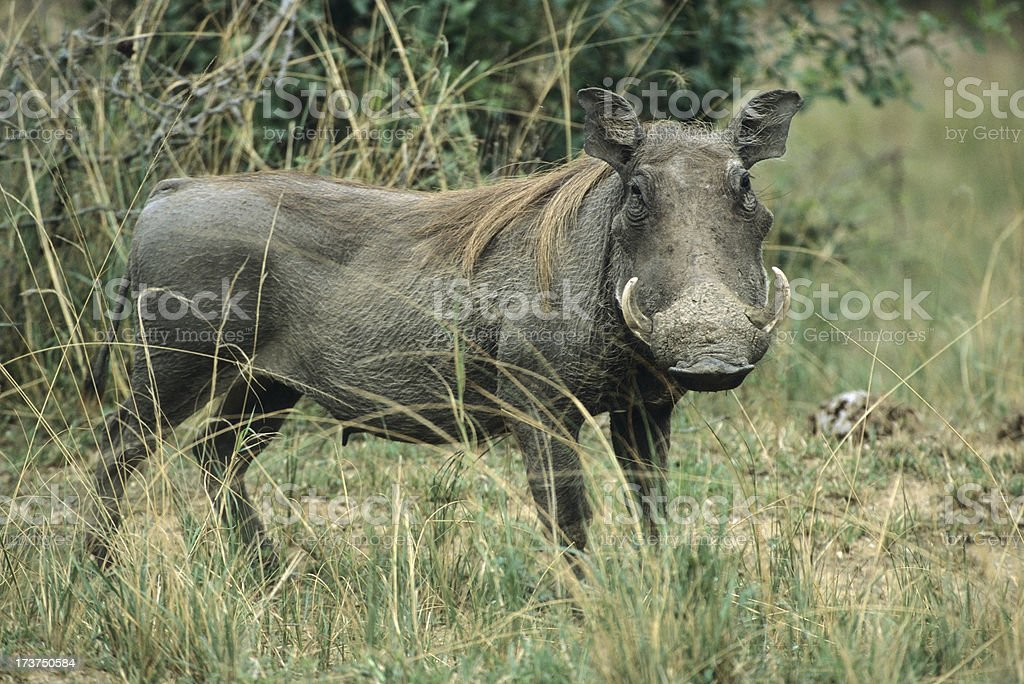 Cautious warthog on savanna plains royalty-free stock photo