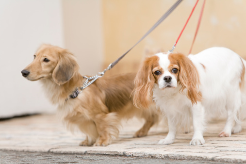 Cavalier and Miniature dachshund
