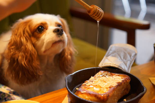 Cavalier at dog cafe stock photo