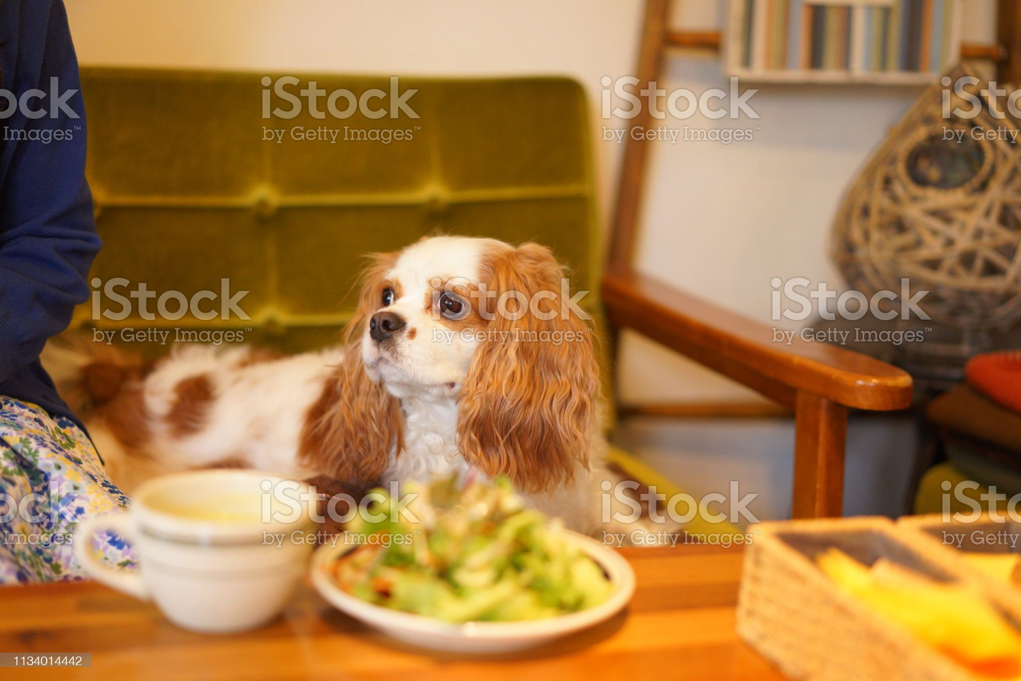 https://media.istockphoto.com/photos/cavalier-at-dog-cafe-picture-id1134014442?s=2048x2048
