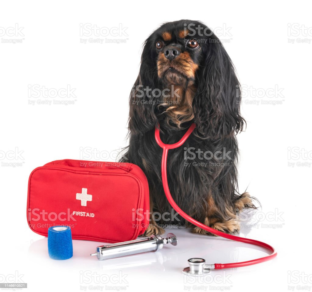 Cavalier King Charles And First Aid Stock Photo - Download