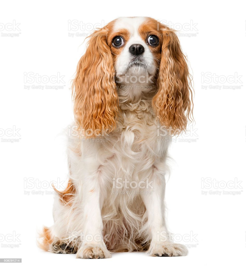 Cavalier King Charles in front of a white background stock photo