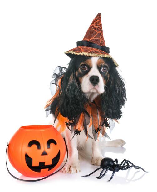cavalier king charles - hund spinnenkostüm stock-fotos und bilder