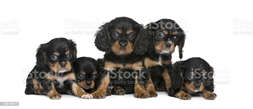 Cavalier King Charles puppies in a row (7 weeks) stock photo