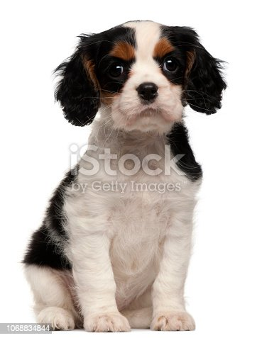 Cavalier King Charles Puppy, 2 months old, sitting in front of white background