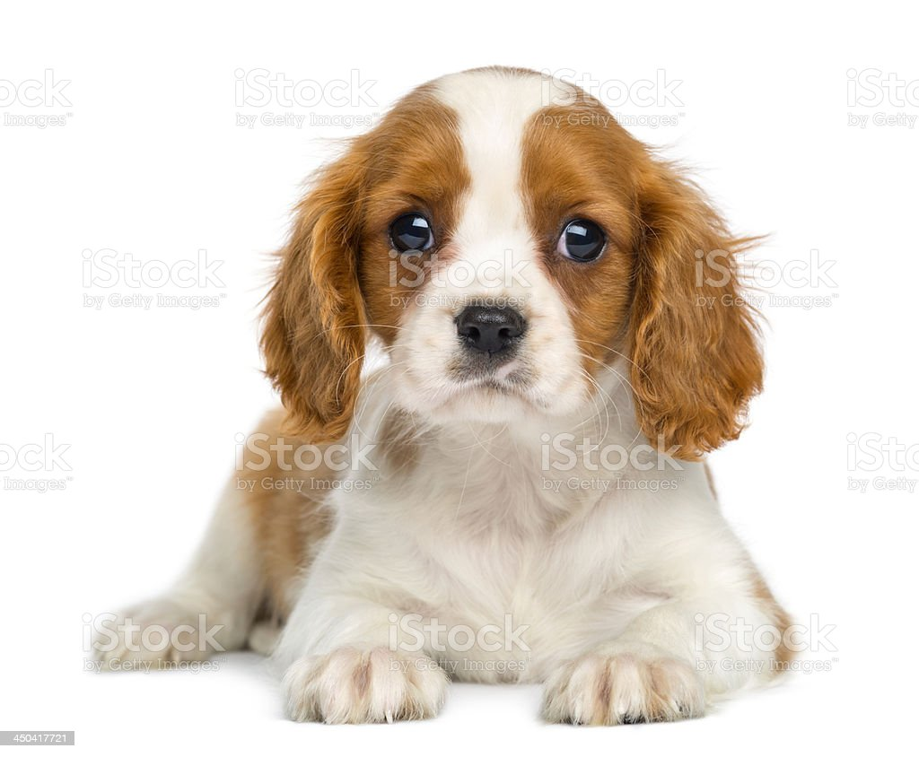 Cavalier King Charles Puppy lying and facing, isolated on white stock photo