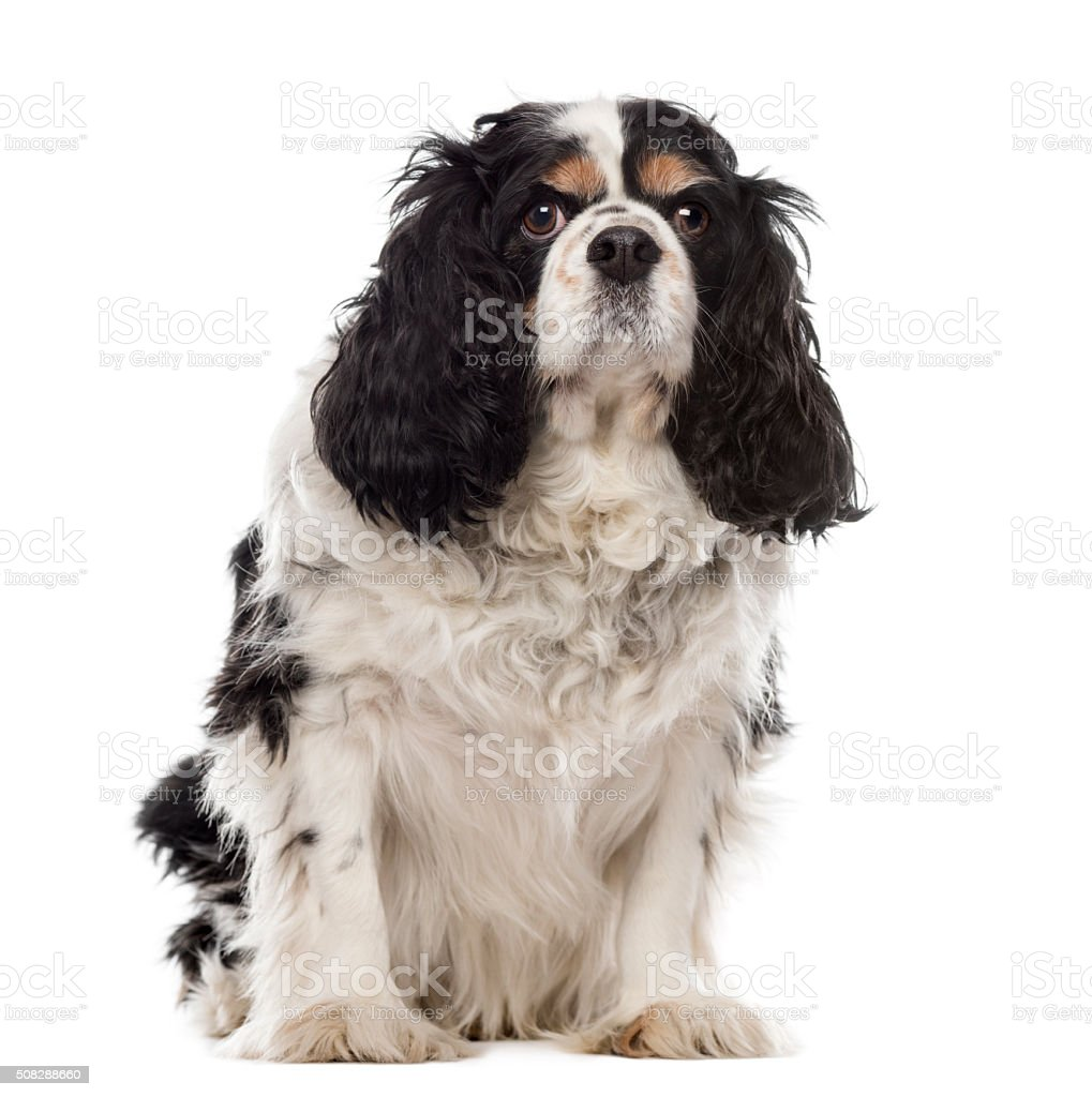 Cavalier King Charles sitting in front of a white background stock photo