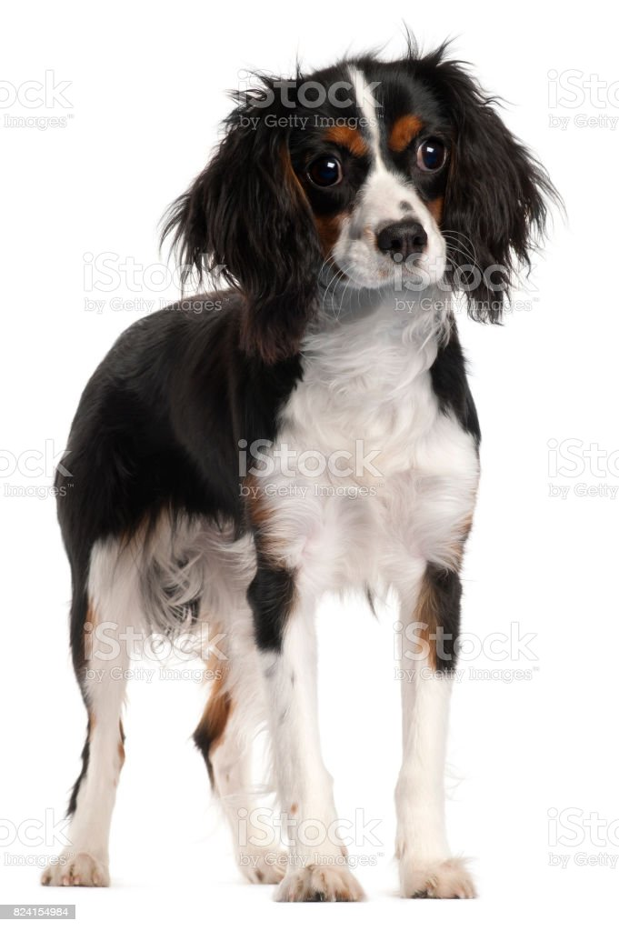Cavalier King Charles Spaniel, 7 months old, standing in front of white background stock photo