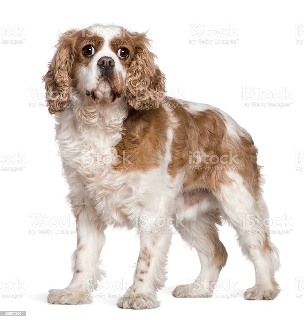 Cavalier King Charles Spaniel, 7 years old, standing stock photo