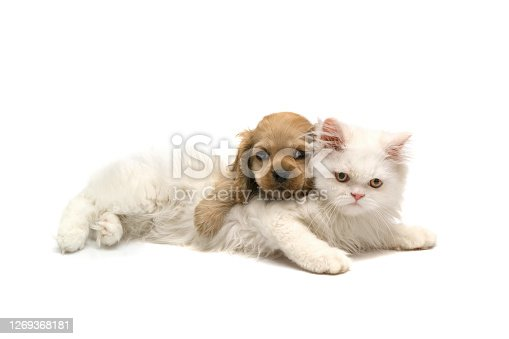 Cat and dog Cavalier King Charles Spaniel and persian cat