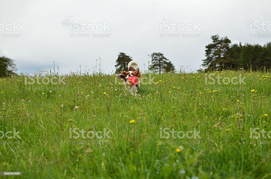 Cavalier King Charles Spaniel Blenheim dog in a Meadow stock photo