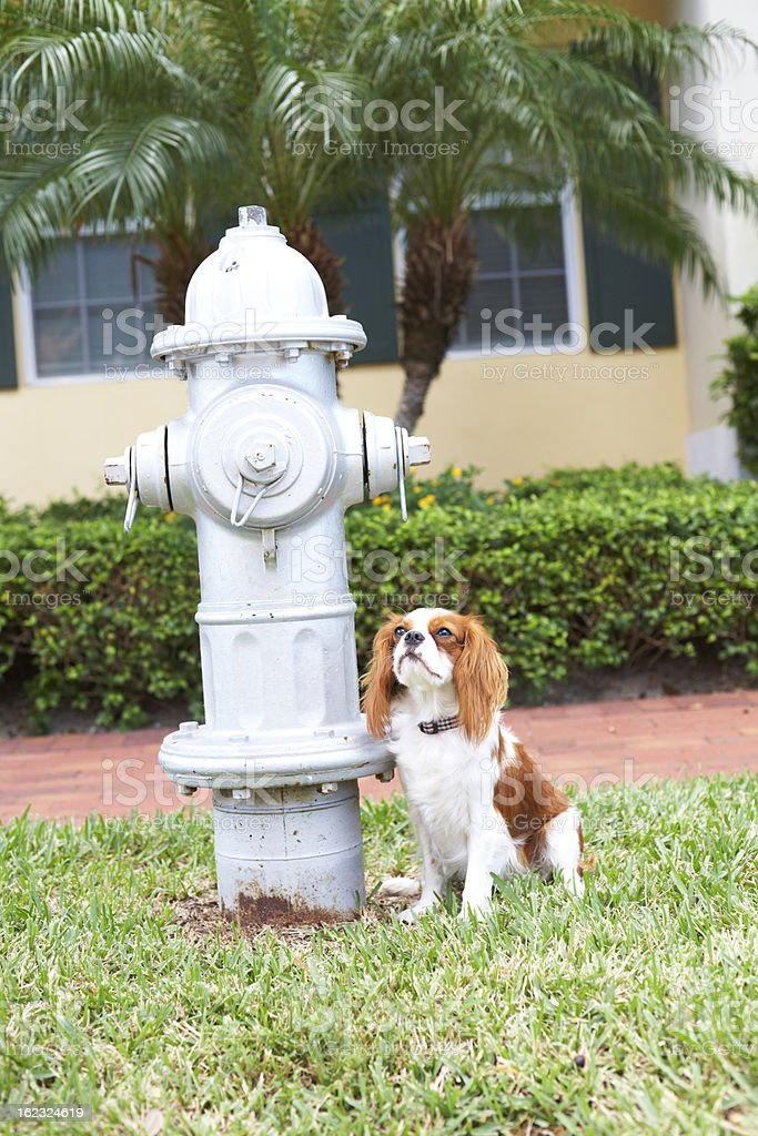 Cavalier King Charles Spaniel Bring Potty Trained stock photo