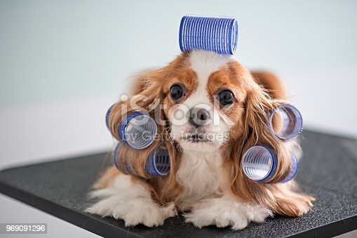 Cavalier King Charles Spaniel dog grooming session