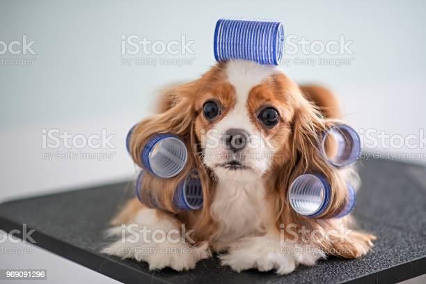 Cavalier king charles spaniel dog grooming session picture id969091296?b=1&k=6&m=969091296&s=612x612&h=eb85b41 bn0egoanbo buyqzvbri65ctdj8dbsz ux0=