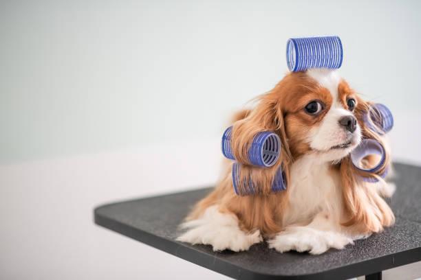Cavalier king charles spaniel dog grooming session picture id969094064?b=1&k=6&m=969094064&s=612x612&w=0&h=sr7ootx3l2ngayyruqi2st6orlemz9eubgzuj objie=