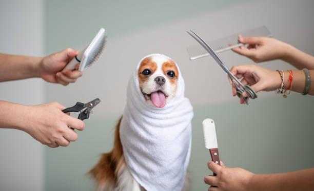 Cavalier king charles spaniel dog grooming session picture id969097426?b=1&k=6&m=969097426&s=612x612&w=0&h=bq5etj jibpexajn nk3e5wci0podrydy2tn2cz6rso=