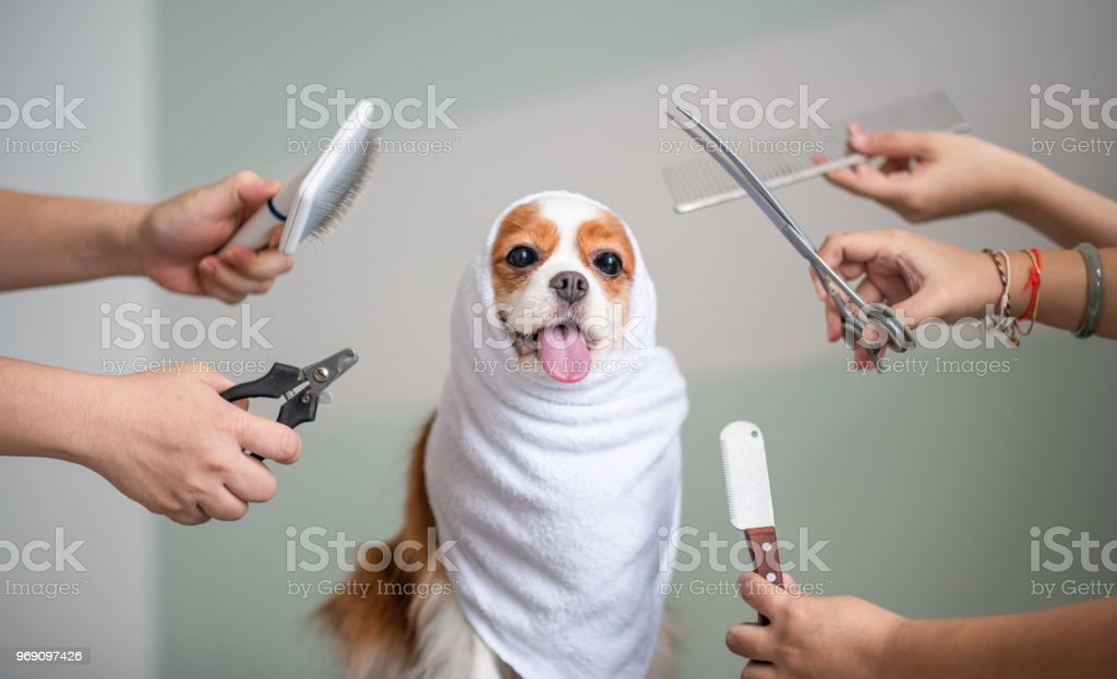 Cavalier King Charles Spaniel dog grooming session stock photo