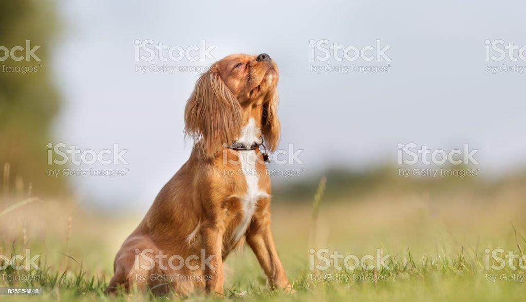 Cavalier king charles spaniel dog stock photo