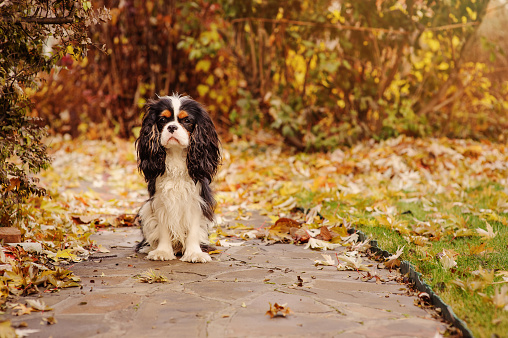 istock cavalier king charles spaniel dog relaxing outdoor on autumn walk 865652554
