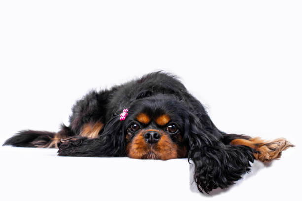 Cavalier King Charles Spaniel dog wears a cute pink bow. Lying down. stock photo