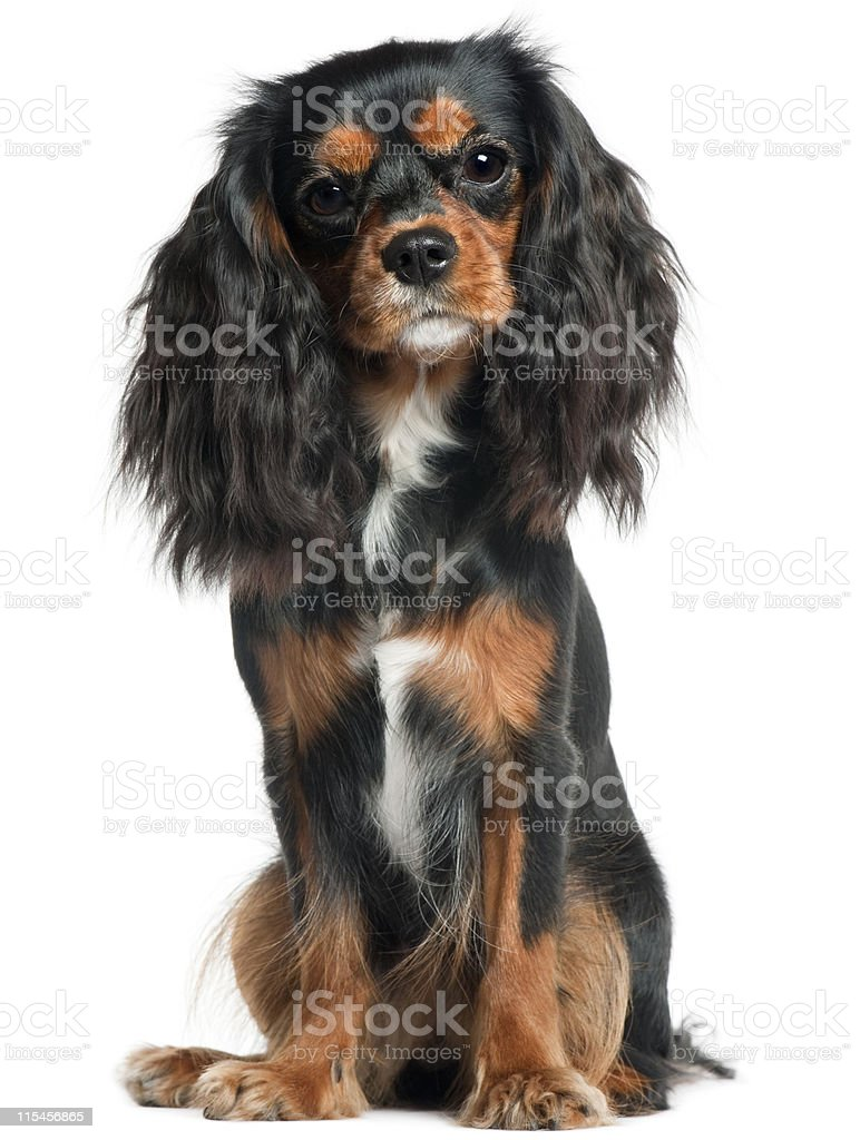 Cavalier King Charles Spaniel, eleven months old, sitting, white background. stock photo