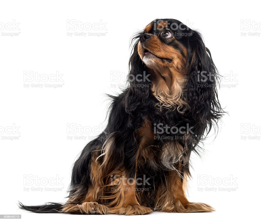 Cavalier King Charles Spaniel in front of a white background stock photo