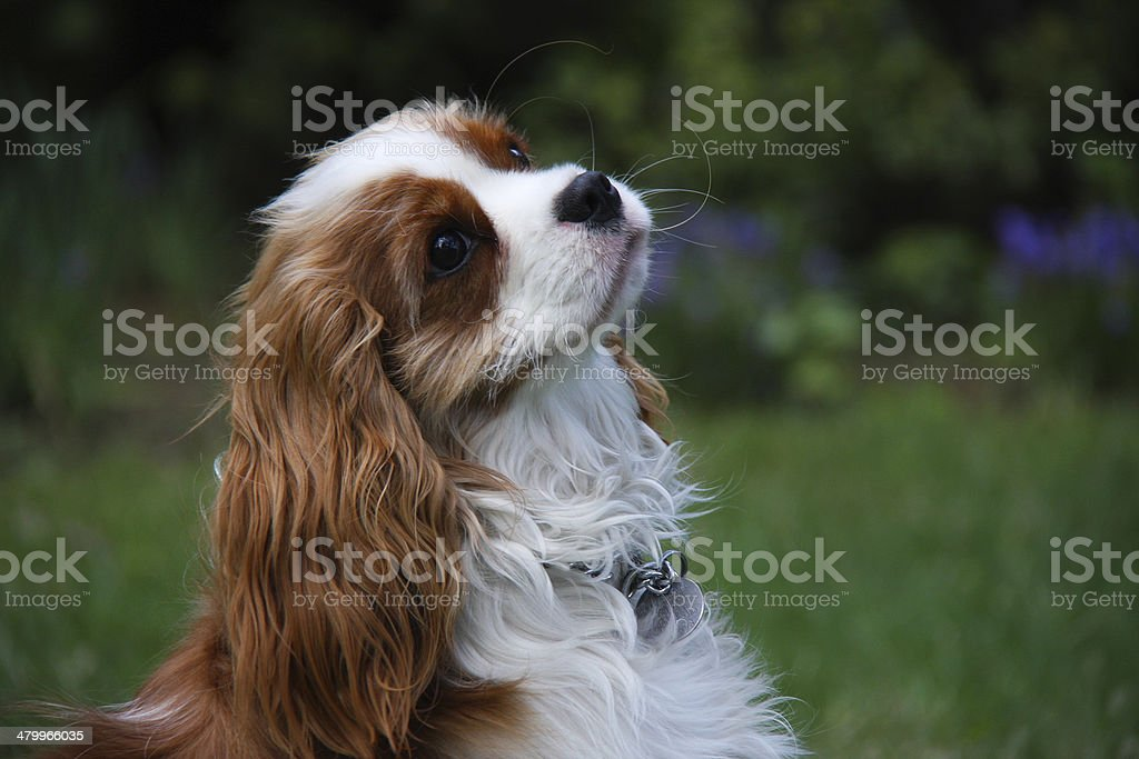 Cavalier King Charles Spaniel in the Garden stock photo