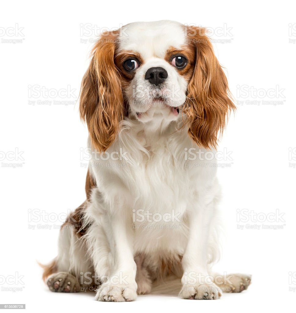 Cavalier King Charles Spaniel, isolated on white stock photo