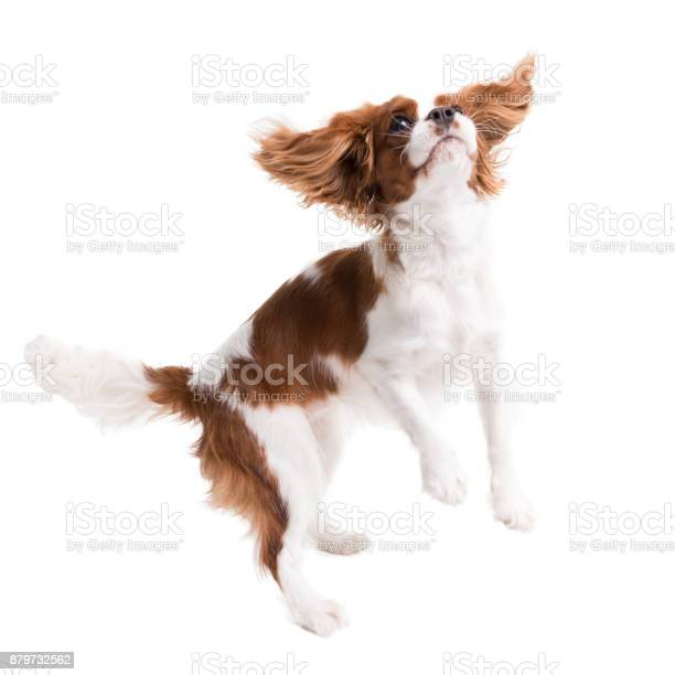 Cavalier king charles spaniel jumps in studio on white background picture id879732562?b=1&k=6&m=879732562&s=612x612&h=lnnfnledny5blev7ezntfurjzlz9ay7afh4ag5wxkuq=