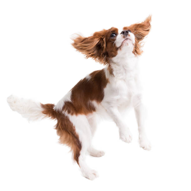 cavalier king charles spaniel jumps in studio on white background - isolate with shadow - dog jumping stock photos and pictures