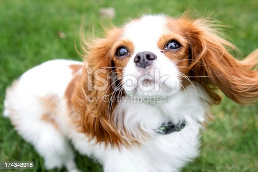 Cavalier King Charles Spaniels ears are blowing in the wind.  Dog is looking into the camera.