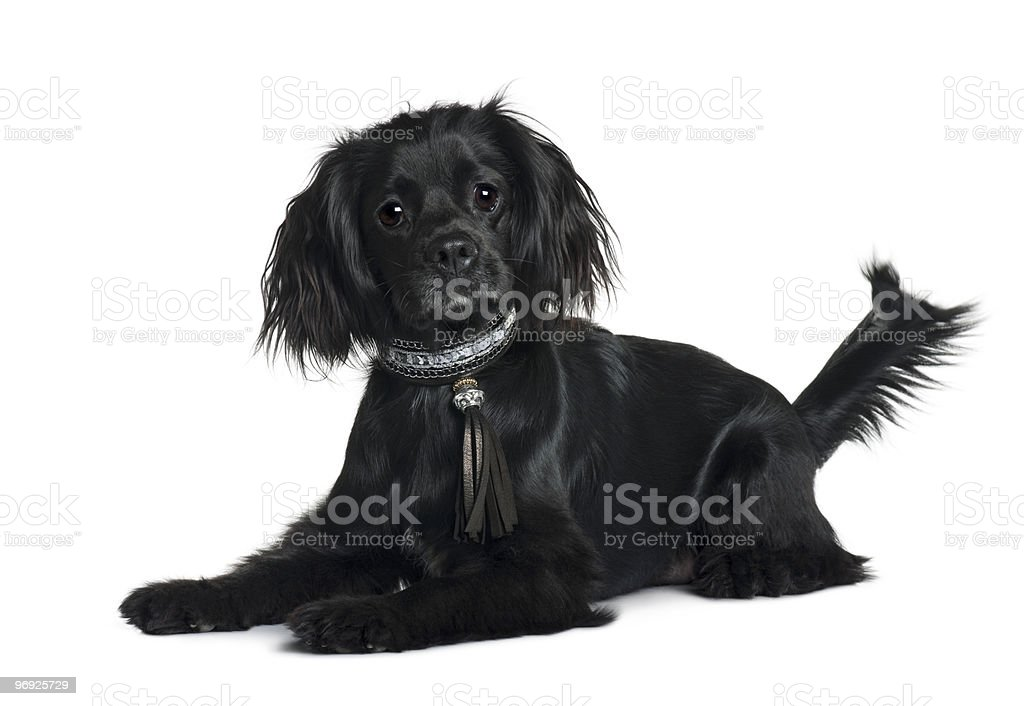 Cavalier King Charles Spaniel lying down and looking the camera royalty-free stock photo