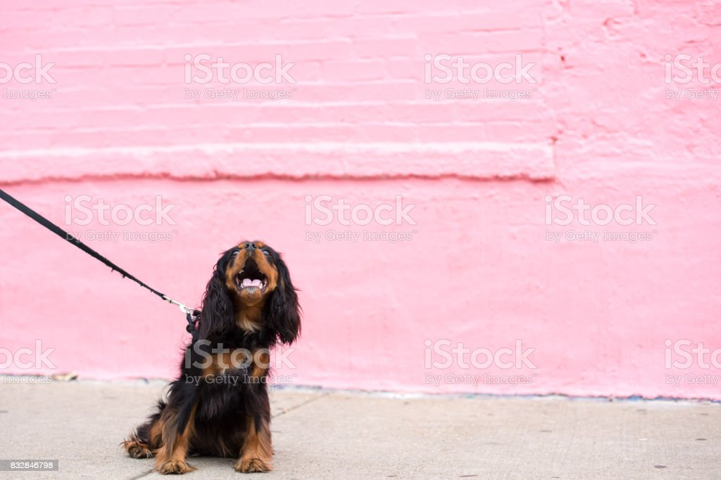Cavalier King Charles Spaniel on a training session stock photo