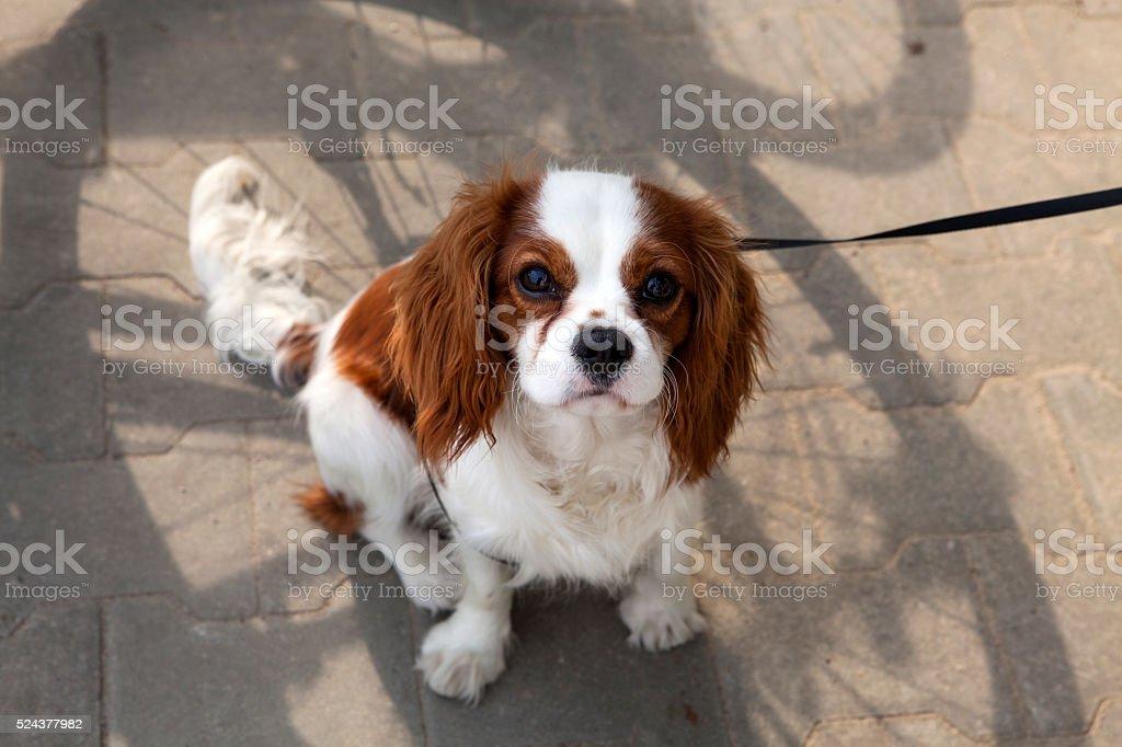 Cavalier King Charles spaniel on  leash stock photo