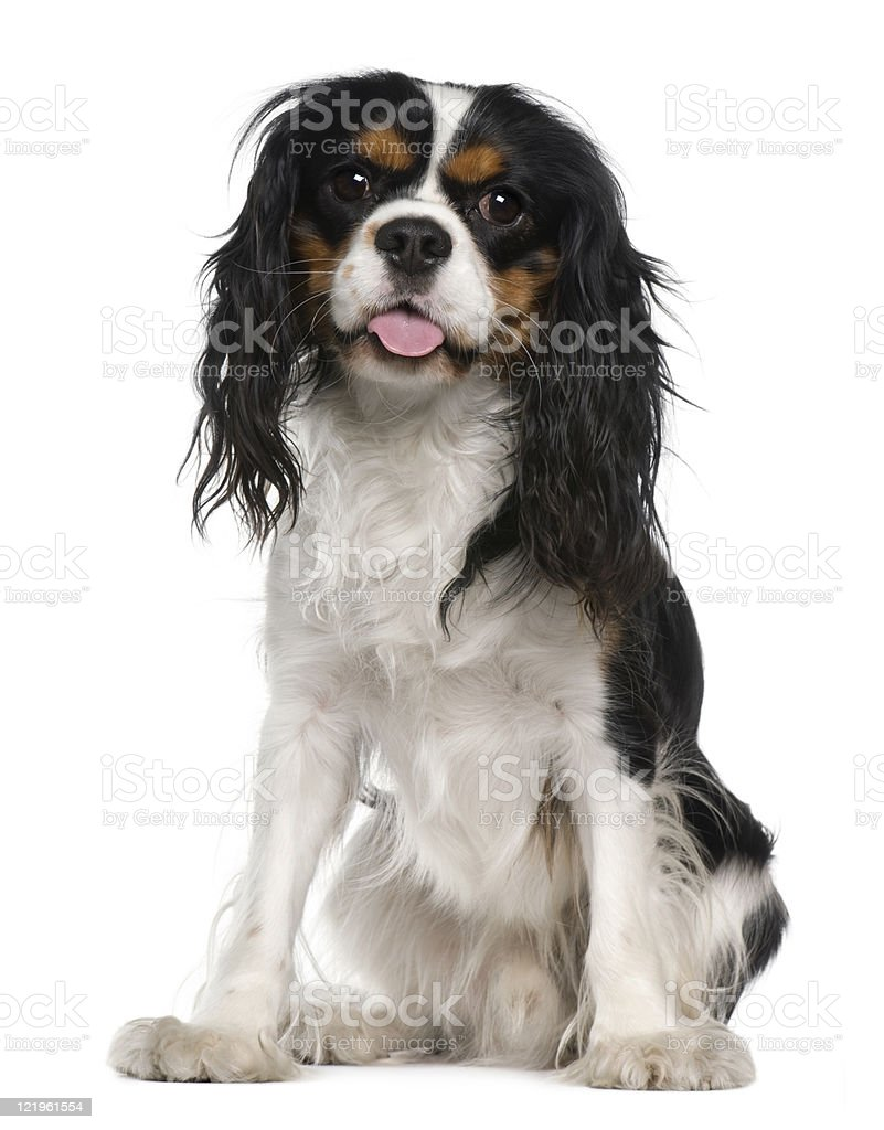 Cavalier king Charles spaniel, one year old, sitting, white background. stock photo