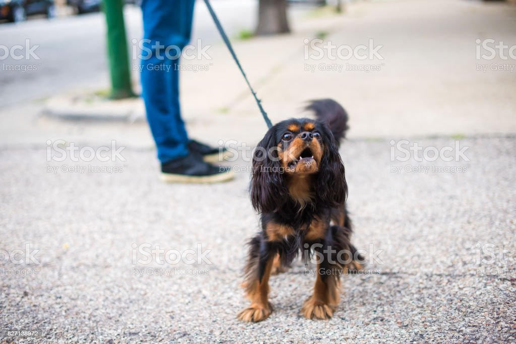 Cavalier King Charles Spaniel out for a walk, barking stock photo