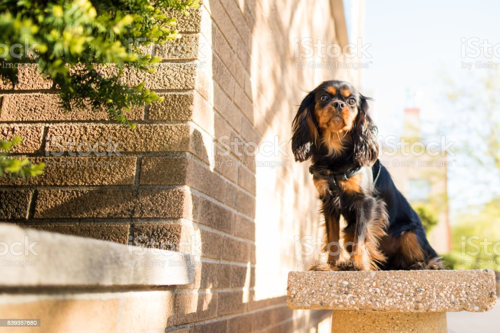 Cavalier King Charles Spaniel out for a walk stock photo