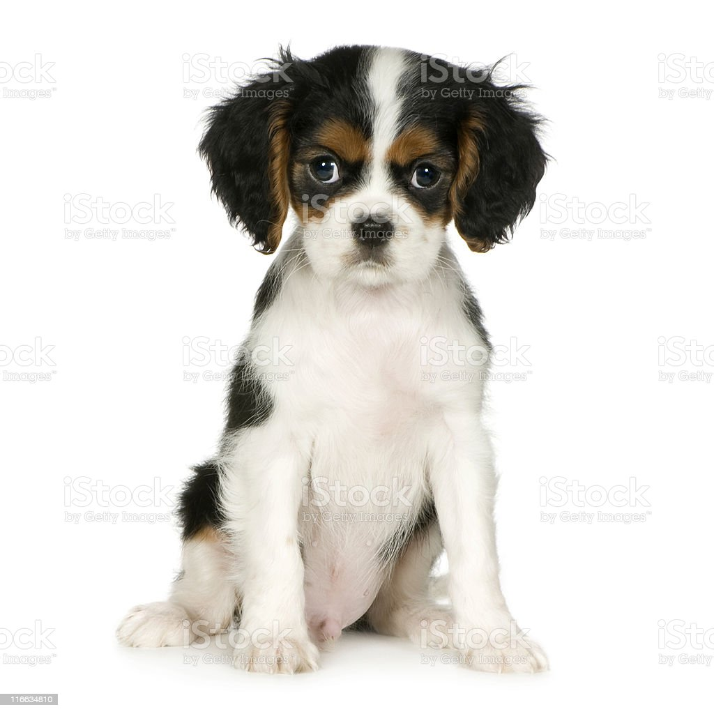 Cavalier King Charles Spaniel (3,5 months) - Royalty-free Animal Stock Photo