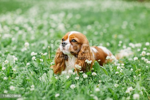 Cavalier King Charles spaniel. Attractive dog of small breed. Excellent friendly pet and companion.