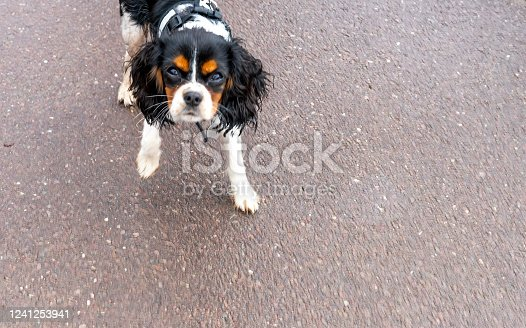 Closeup of a curious Cavalier King Charles Spaniel, black and tan colored. He is looking up at the camera.