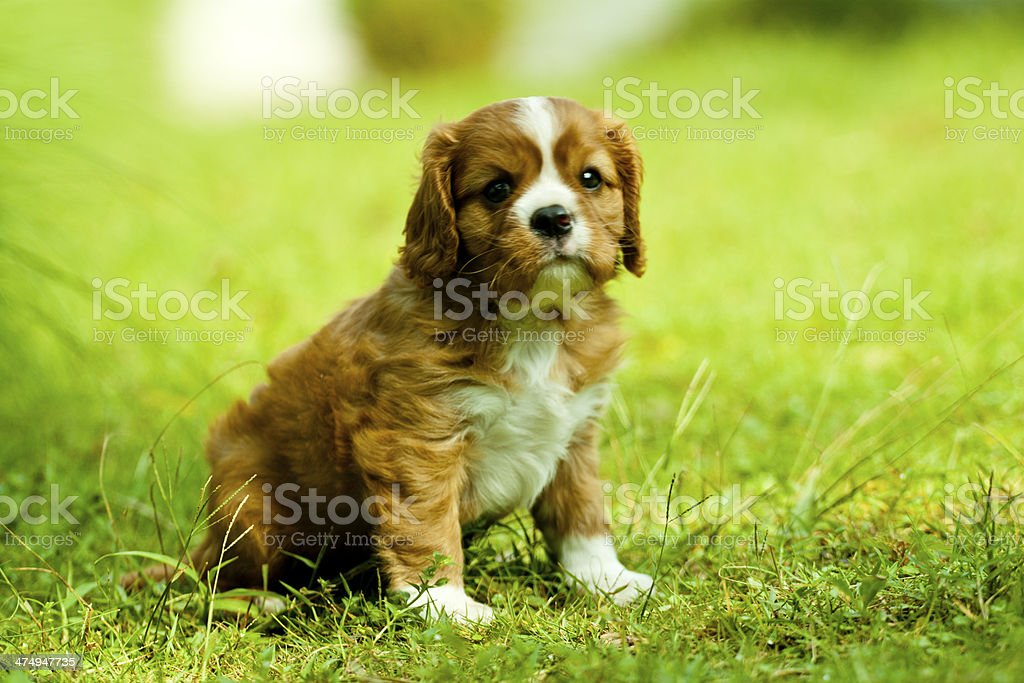 Cavalier King Charles Spaniel Stock Photo Download Image Now Istock