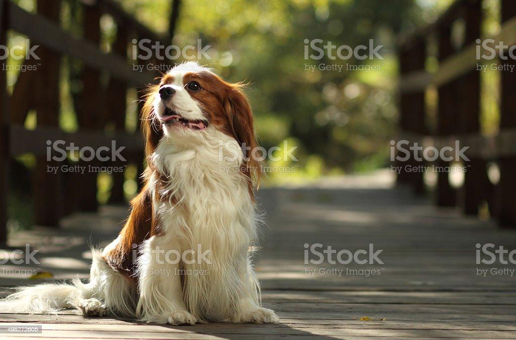 Cavalier King Charles Spaniel stock photo